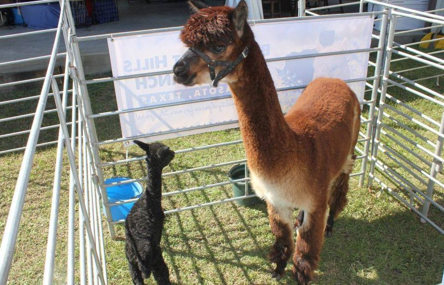 Drink Wine With Alpacas At This Vineyard In Texas